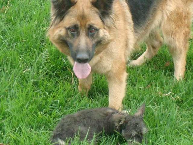 Fotos de Se venden hermosos cachorros pastor alemán 3
