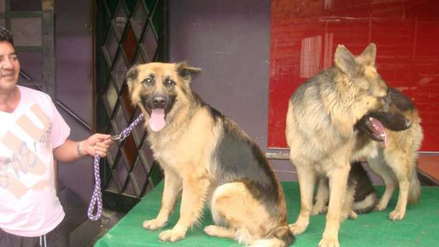 Fotos de Se venden hermosos cachorros pastor alemán 1