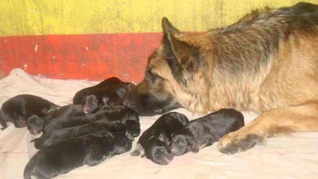 Fotos de Se venden hermosos cachorros pastor alemán 4