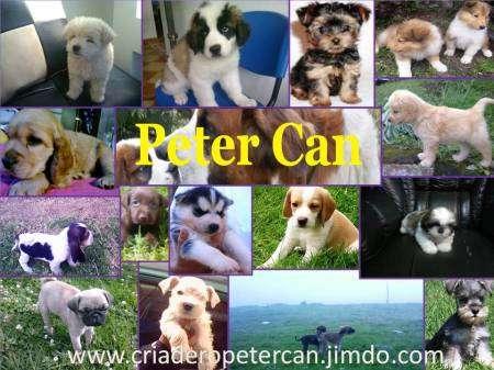 Fotos de Venta de cachorros hermosos sanos jack russell terrier bogota 2