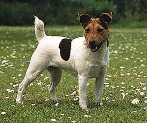 Fotos de Venta de cachorros hermosos sanos jack russell terrier bogota 1
