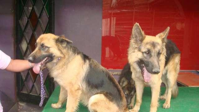Se venden hermosos cachorros pastor alemán