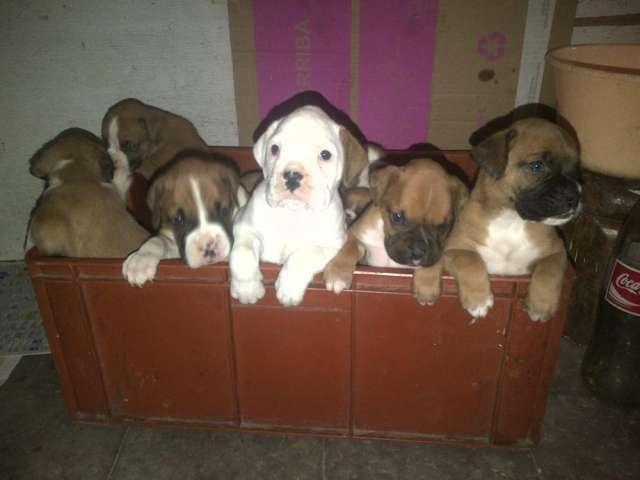 Perros boxer ultima camada