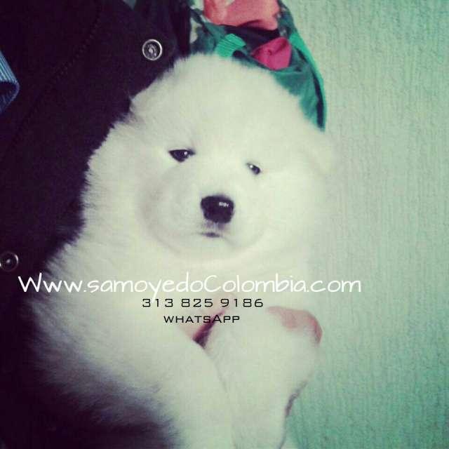Fotos de Hermosos cachorros samoyedo certificados entrega inmediata 3