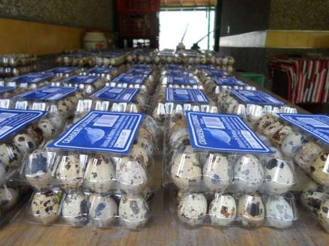 Codornices, incubadoras, huevos, empaque