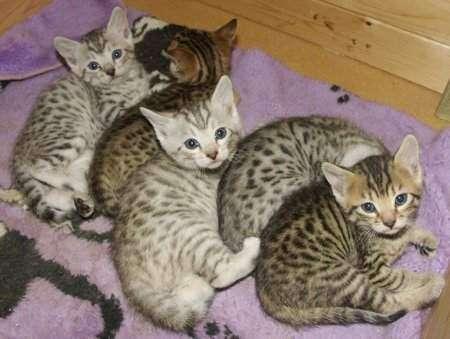 Servals, caracal, ocelotes y f1-f3 gatitos savannah - bajo costo, la mejor calidad