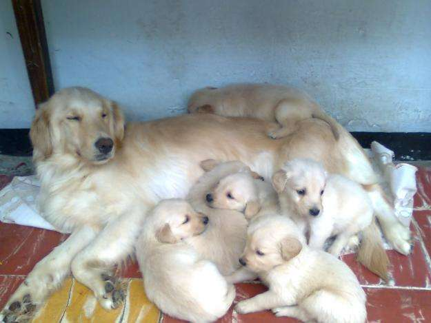 Golden retriever ofrece criadero bullfer kennel