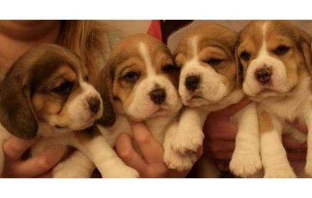 Vendo cachorros beagle tricolor garantia de raza