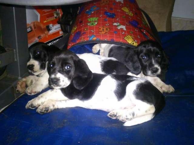 Vendo basset hound negros con blanco bogota