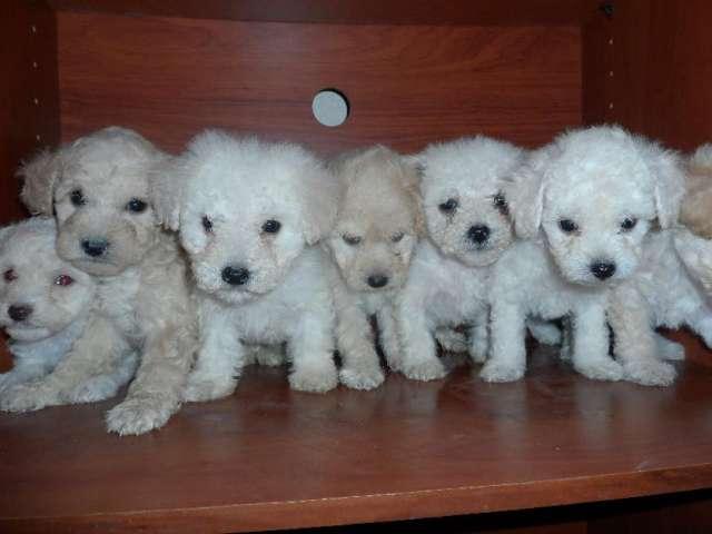 Vendo french mini toy cachorros