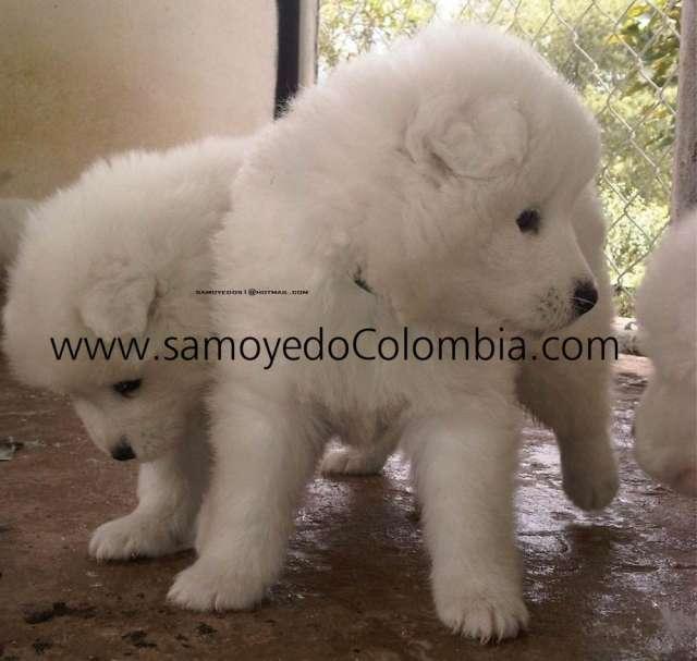 Cachorritos samoyedo en venta hembras y machos 2014