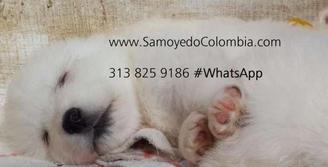 Cachorros samoyedo junio 2014 entrega inmediata