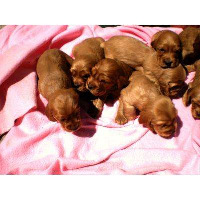 Vendo cachorros cocker spaniel ingles