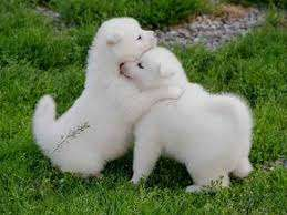 Cachorros akita en busca de una familia amorosa