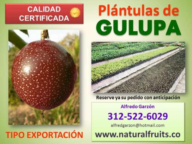 Plántulas de gulupa semilla y plantas en vivero para exportación