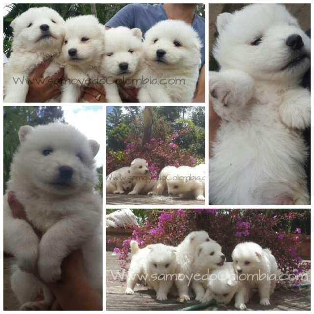 Samoyedo cachorros y cachorras disponibles visitalos en bogota