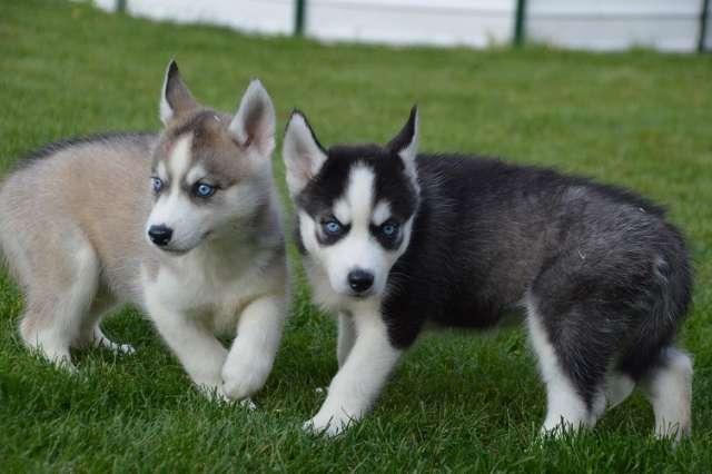 Husky siberiano listo para su adopción