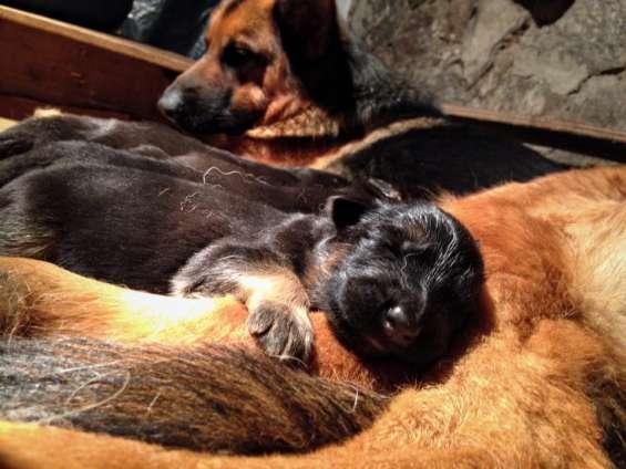 Cachorros pastor aleman, excelente genetica