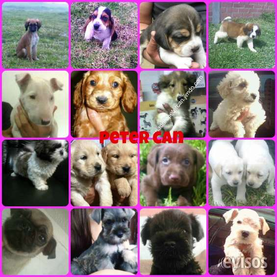 En venta cachorros sanos french poodle mini toy cocker schnauzer golden beagle pug shih tz