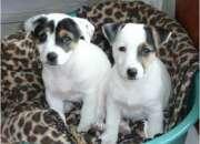 hermosos cachorros jack russel