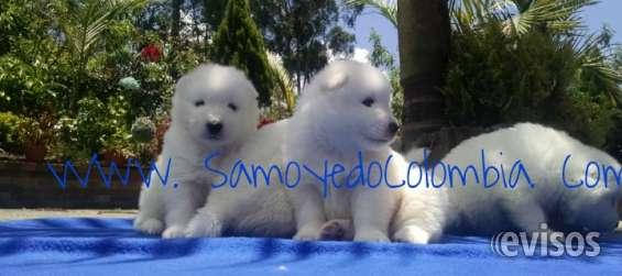 Cachorros samoyedo puros en venta