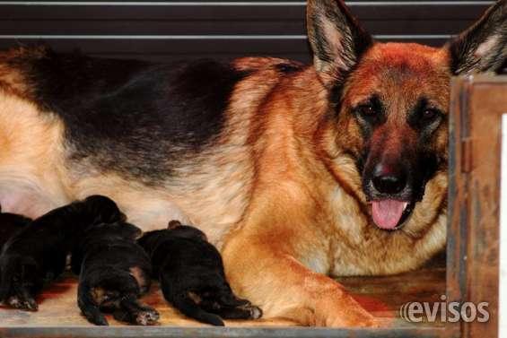 Estupendos cachorros pastor aleman, certificados en raza y salud. los mejores.