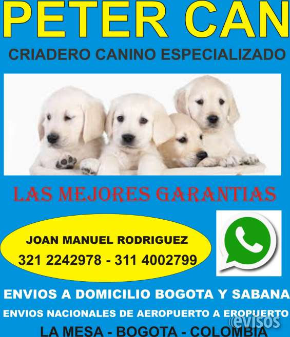 Somos criadero de french poodle mini toy golden schnauzer beagle