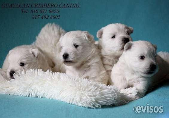 Cachorros west hihgland terrier certificados en raza, envios a todo el pais.