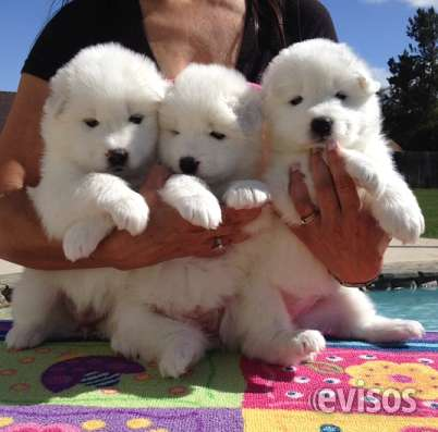 Cachorros samoyedo disponible machos y hembras bogota