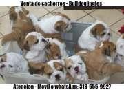 Cachorros bulldog ingles y bulldog frances