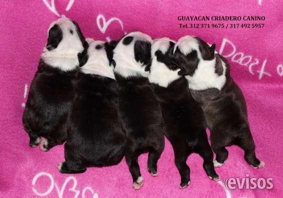 Fotos de Hermosos cachorros boston terrier certificados en raza y salud, 2