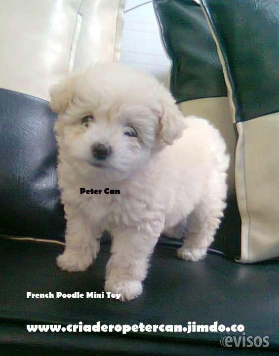 French poodle mini toy***garantia medica y de raza****