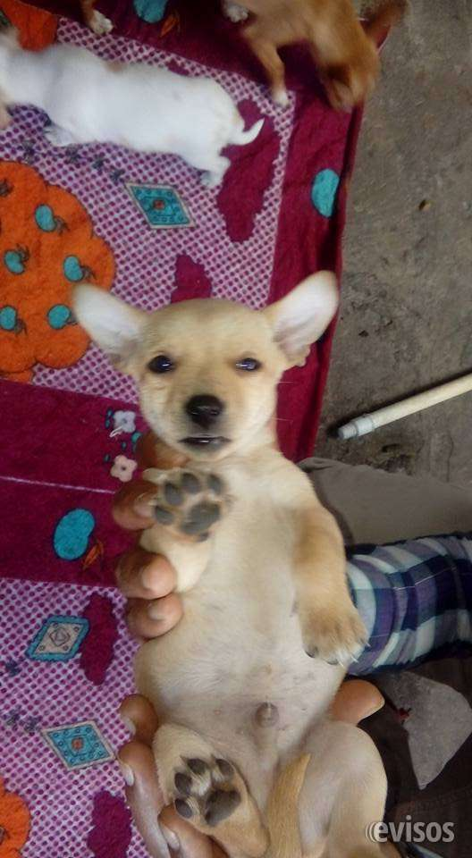 Chihuahua dorado  macho