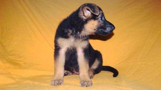 Venta cachorros pastor aleman pura sangre