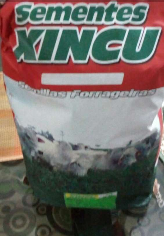 Semilla de pasto brasilera certificada