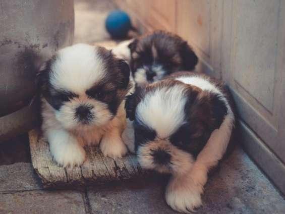 Hermosos shitzu miniatura en venta cachorros